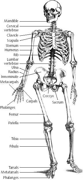 labelled skeleton human body