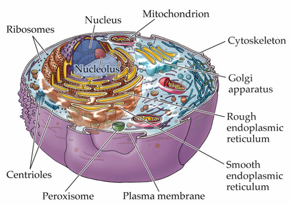 Various Parts of Animal Cell http://rohlenscience.pbworks.com/w/page/7859193/Life%20Science